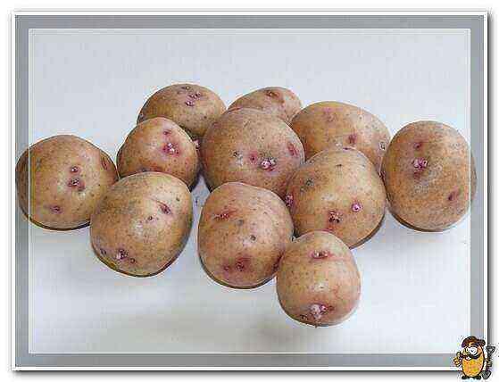 Potatoes Aurora care how to grow