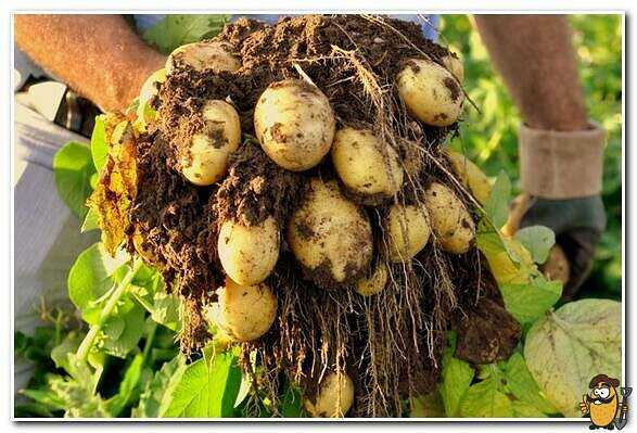 Potatoes Queen Anna care how to grow