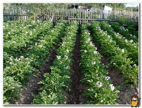 Potatoes Uladar: description and characteristics of the variety care how to grow