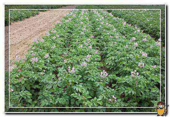 Potatoes Zhukovsky care how to grow