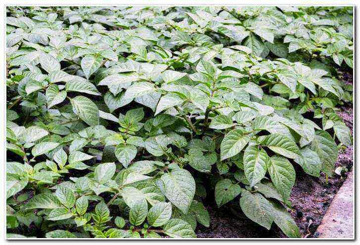 Romano potatoes care how to grow
