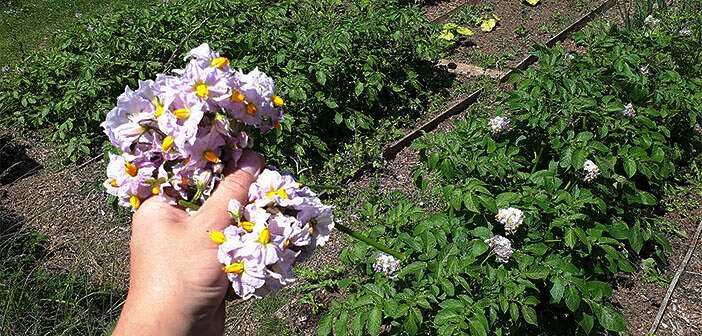 The benefits and harms of removing potato flowers
