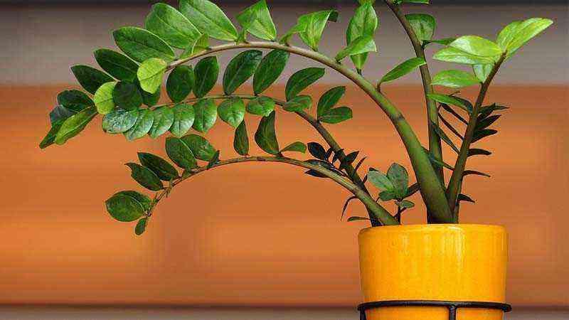 Zamioculcas zamiifolia for indoor cultivation