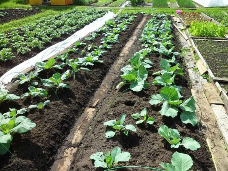 Young and beautiful cabbage in the beds