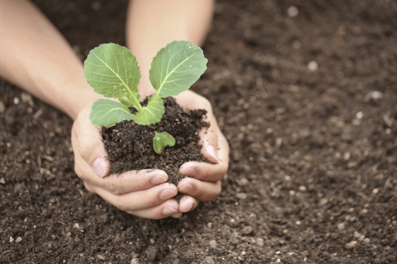 10 secrets of growing cabbage for seedlings at home