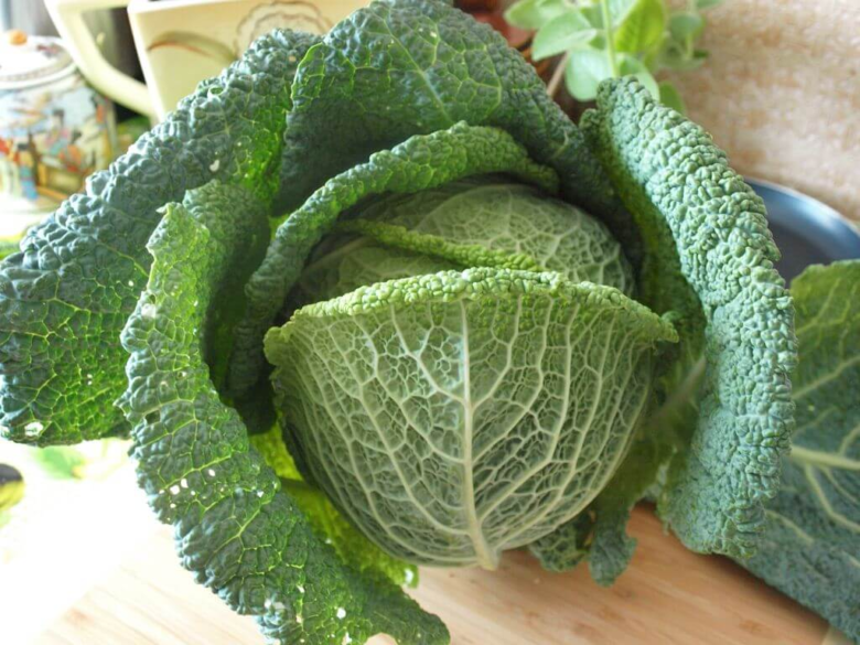 Savoy cabbage with bright green corrugated blister leaves