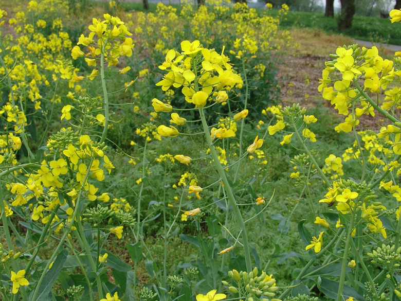Bright yellow flowers of rapeseed, forage cabbage