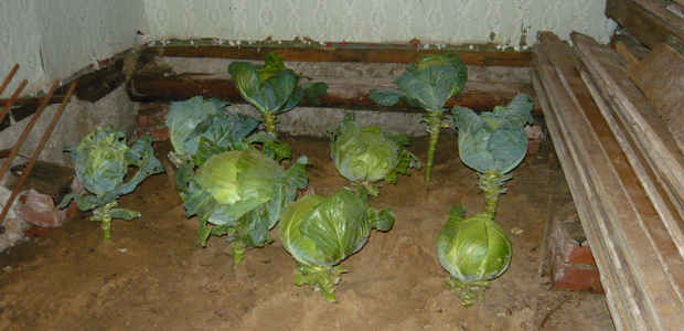 We plant heads of cabbage for the winter in the sand