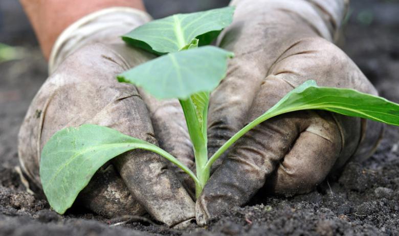 We plant cauliflower in the garden