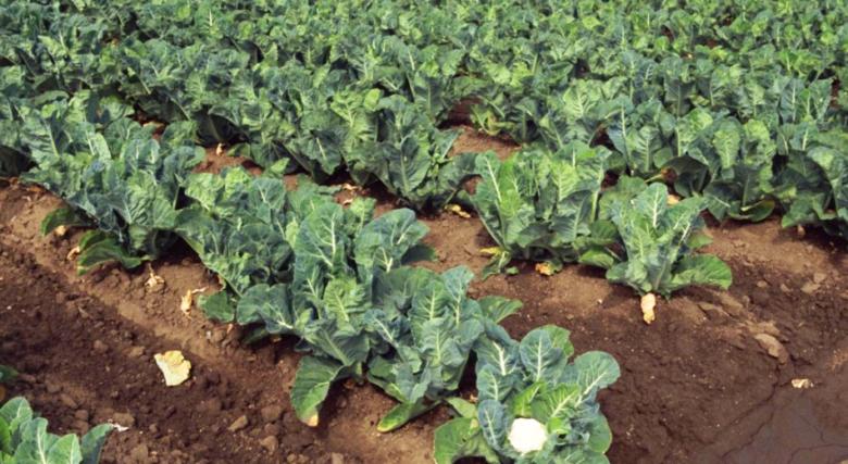 How cauliflower grows outdoors