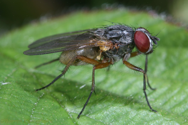 Cabbage fly annoys gardeners from the first days of field work