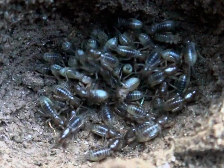 The bear larvae look like transparent spiders