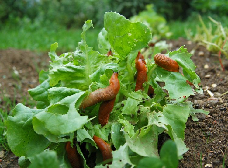 Gluttonous slugs and snails at night also come to feast on juicy cabbage