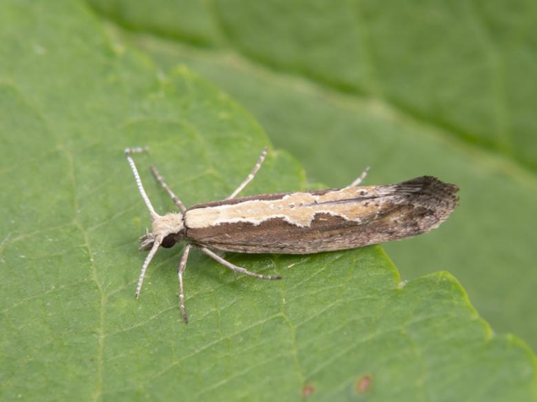 doll moth
