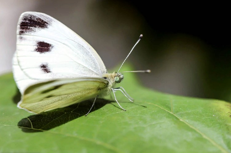 The beautiful white butterfly gives a lot of trouble to gardeners
