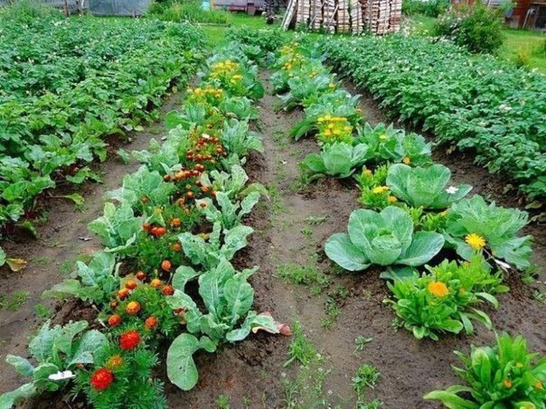 Having planted marigolds or calendula along the edge of a cabbage bed, you can forever forget about harmful insects