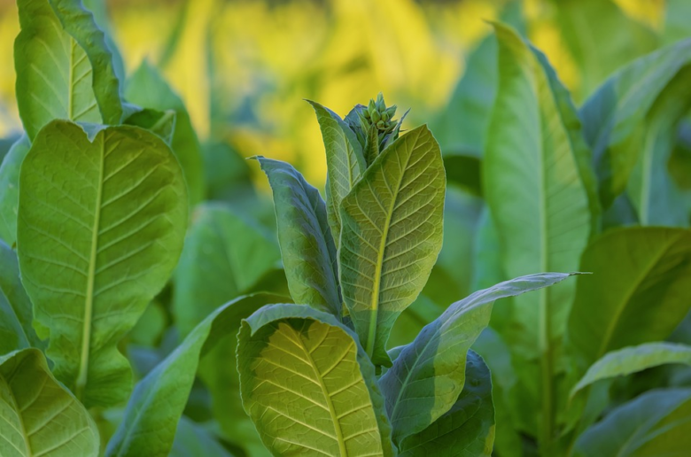 Tobacco leaves are the best way to fight cabbage pests