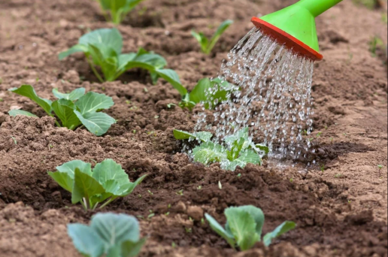 Watering the cabbage