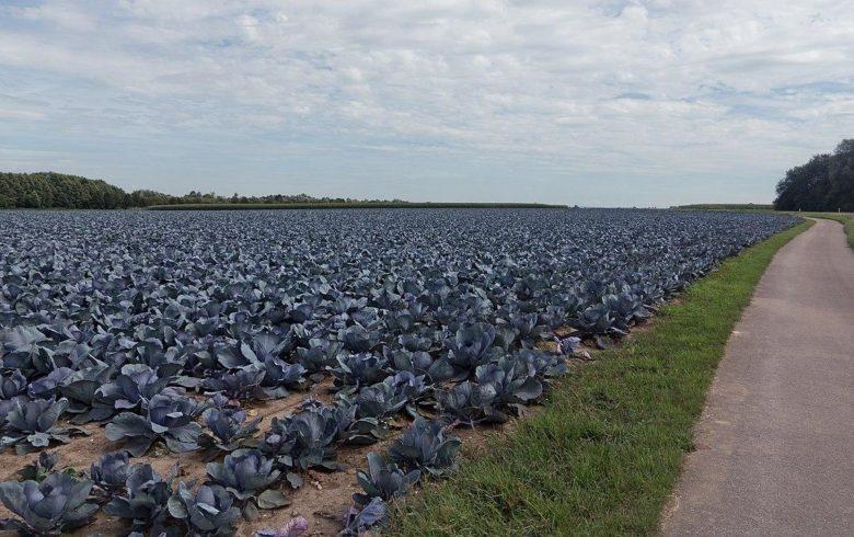 Blue cabbage plantation