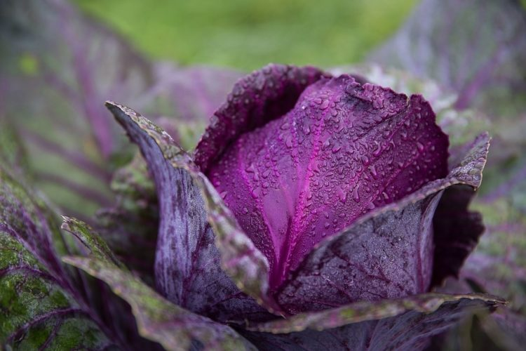 A head of cabbage is a huge bud.