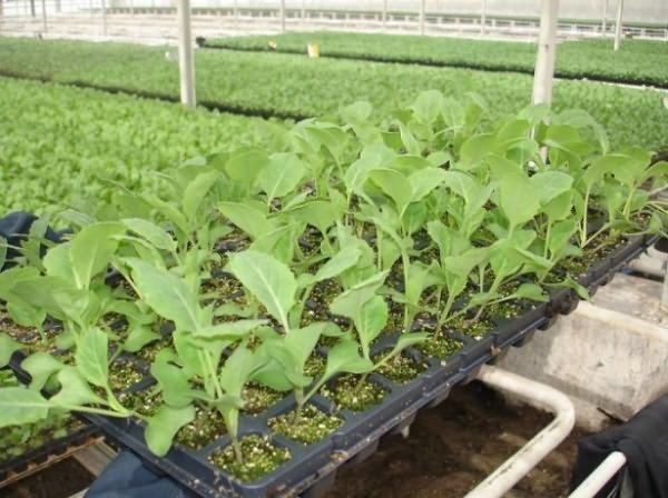 Seedlings of cauliflower