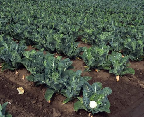 In case of poor growth, feed and micronutrients. Boron and molybdenum are especially needed for cabbage.