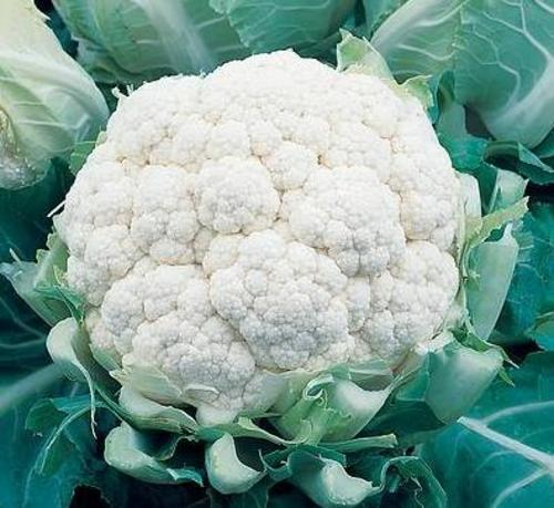 Under favorable conditions, cauliflower can be harvested in a greenhouse after 60 to 90 days, depending on care and variety (early, medium and late)