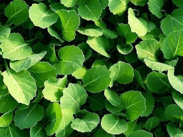 The time of sowing cabbage for seedlings depends on its variety.