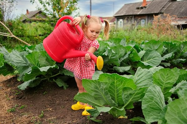 & amp; amp; amp; quot; Cabbage loves water and good weather & amp; amp; amp; amp; quot;