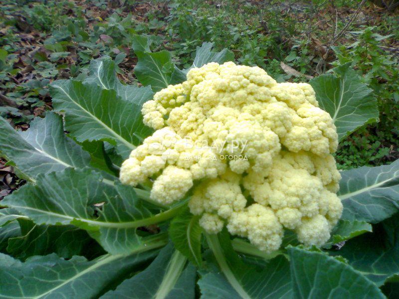 Cortes F1 cauliflower