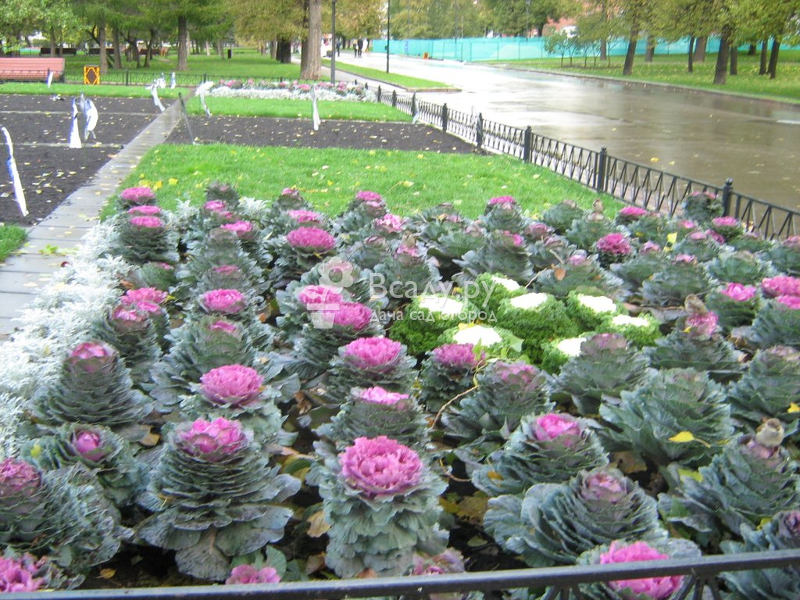 With good care, ornamental cabbage will decorate the garden until late autumn.