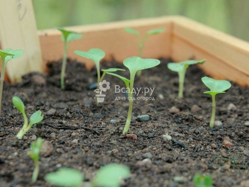 To get strong and healthy seedlings of cabbage, it is necessary to control the humidity and temperature in the room.