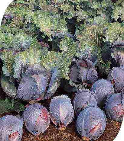 the best Dutch cabbage varieties