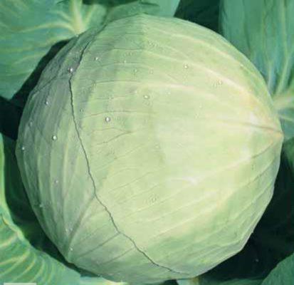 Cabbage Snow White