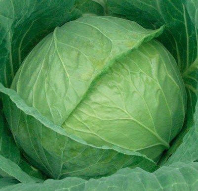 Kharkiv winter cabbage