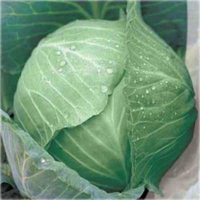 Gingerbread cabbage