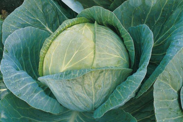 Cabbage Megaton F1
