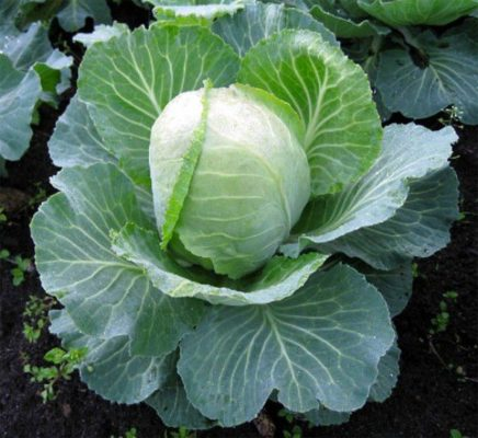 Cabbage Wintering 1474