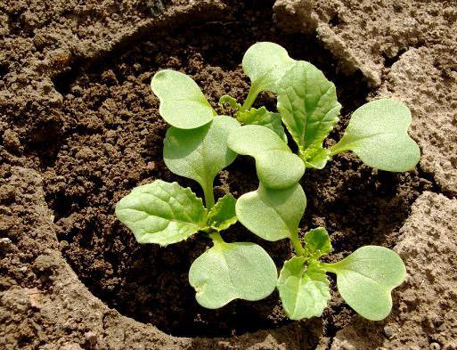 Seedlings of cabbage seeds in the open field
