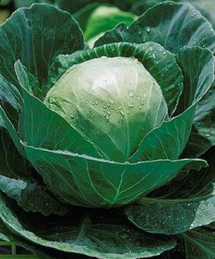 Cabbage Orion F1