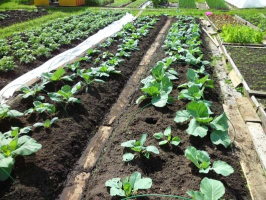 Cabbage beds