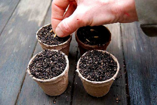 Peat pots with soil