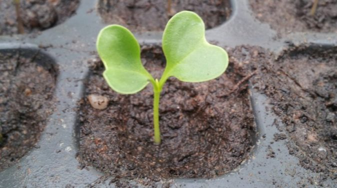 Seedlings from cabbage seeds