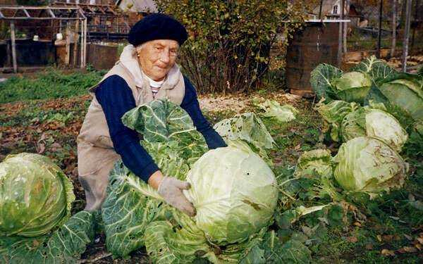 All types of cabbage: description, the best varieties and seed producers