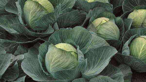 Atria white cabbage - high-yielding Dutch hybrid
