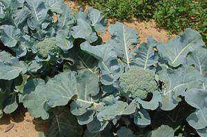Broccoli care and cultivation in the Moscow region