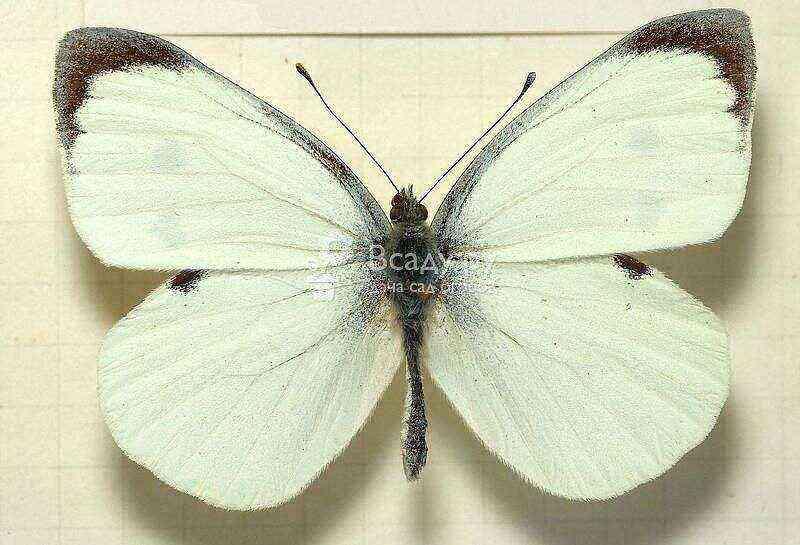 Butterfly - cabbage (lat.Pieris brassicae)