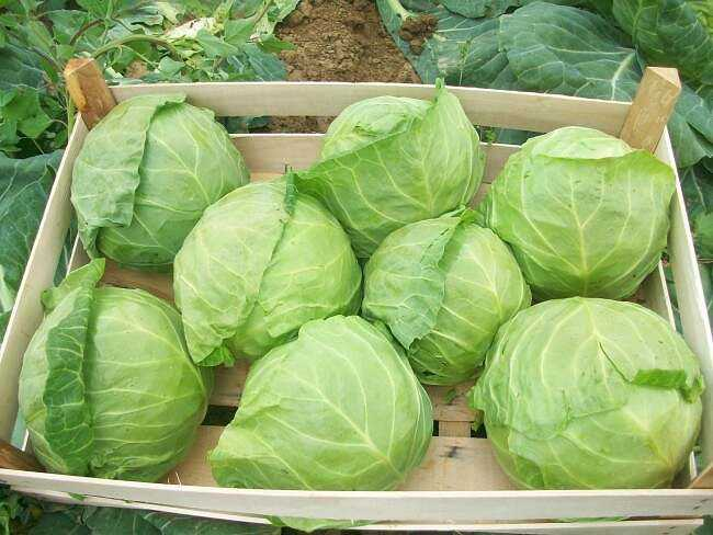 Cabbage Aggressor - a variety that gives a stable harvest in extreme conditions