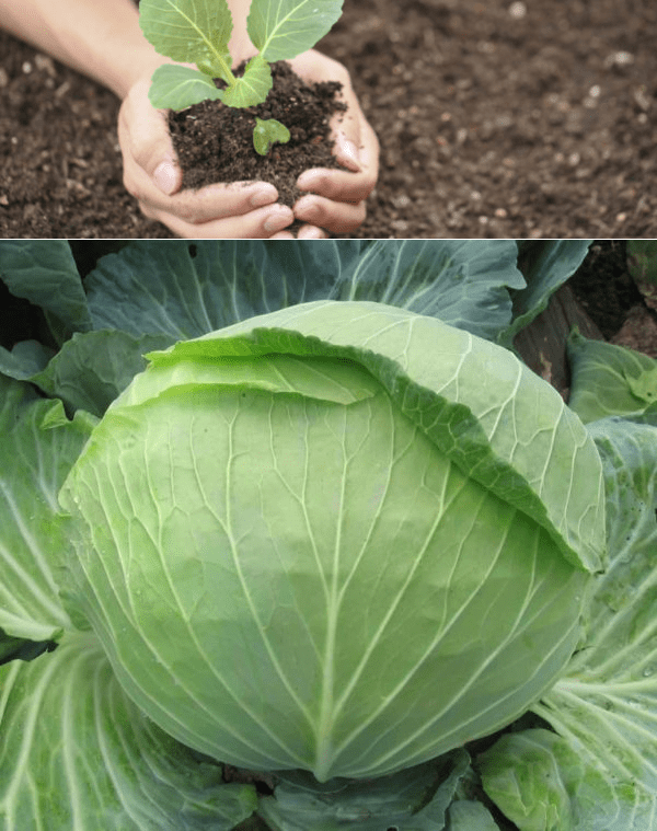 Cabbage forks: picking and wounding