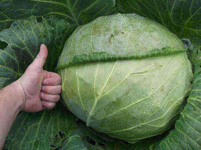 Cabbage Megaton - the most productive medium late hybrid